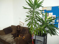 YUCCA HOUSE PLANT 7FT WITH PLANT POT