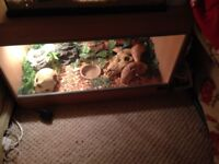 Pair of corn snakes and tank etc