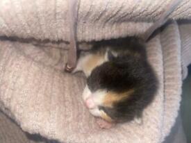 Beautiful kittens for sale 2girls 1boy PLEASE READ FULL AD!!!!