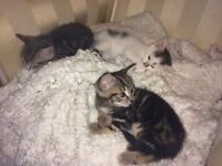 4 Adorable Kittens For Sale Ready To Go
