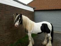 Piebald cob stallion