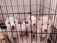 Huskies puppy's