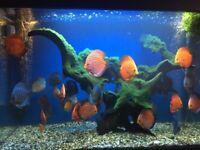 tropical aquarium fish for sale, discus community tank fish