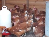 Pullets warren hens forsale Mansfield nottinghamshire 5.50 each buy 50 or more i will do cheaper