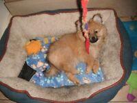 Beautiful female Pomeranian puppy for sale