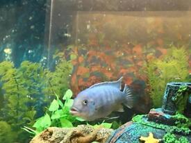 Blue cichlid for sale