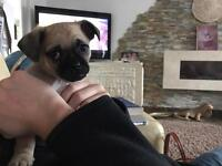 Pug cross chihuahua puppy ready now