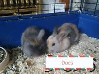 Lop/lionhead ready to reserve