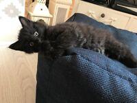 Smokey Black Fluffy Male Kitten