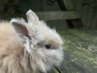 2 Pure Bred Lion head Rabbits need gone ASAP