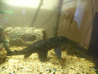 2 common plecs Free for collection