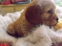 Cockapoo puppies PRA -prcd Hereditary clear