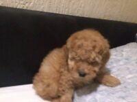 miniature poodle pup