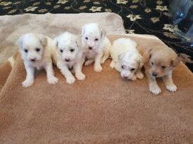 Pomapoo puppies for sale