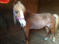 """""""Shianne"""" 12.2h Pony"""
