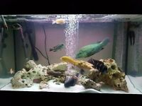 MALAWI CICHLIDS & PEACOCKS (open to offers)