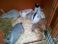 Rex bunnies and dwarfs 9weeks old boys and girls
