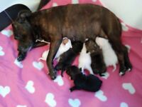 American bulldog crossed staffy pups