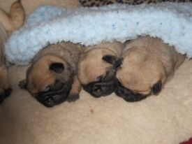 three pug boys looking for new homes. kc reg and inoculations complete,microchipped, wormed/deflead