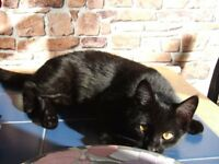 Missing/Lost small black Cat/Kitten Lisburn Whitla/Ardis/Belsize area