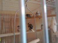 Bengal finches for sale