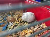 Hamster and cage two dwarf hamsters with cage