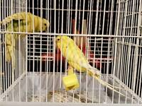 Budgies, cage and full set up