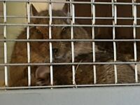2 degus both boys with cage and beding to lasta while.