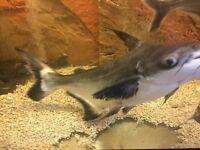 Hi fin shark