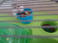 2 dwarf hamsters, cage and accessories