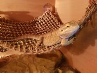 1 year old female Bearded Dragon
