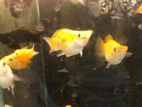 Balloon molly peaceful community tropical fish