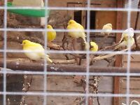 six fife canaries for sale this years birds varous colours.blue and whites yellows yellow and blacks