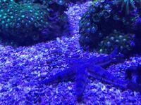 Star fish marine salt water clean up crew fish tank aquarium