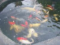 3 Large Koi Carp and and many assorted fish