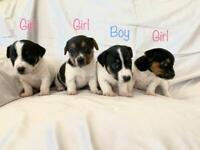 Miniature Jack Russell Puppies - Boys & Girls