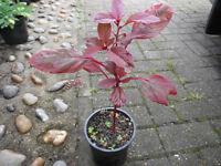 Plant for sale-An Amaranth plant in a 12 cm pot