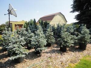 DaPontes Colorado Spruce - Tree Nursery London Ontario image 10