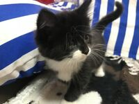 Black and white fluffy male kitten for sale