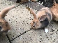 Mini lop x netherland dwarf 🐰 rabbits