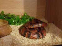 pueblan milk snake + viv & accessories