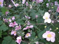 JAPANESE ANEMONES - POTTED