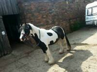 ***SELLING MY BEUTIFUL HEAVY 12HH COB MUST LOOK***