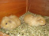 Various Texel And Peruvian Guinea Pigs available