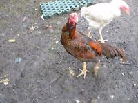 shamo stag chickens
