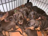 Pedigree Dobermann Puppies from Saxon Kennels