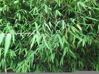 1--12 foot tall Bamboo clumps for sale Kingston 5 stems £8 up to 118 stems £70