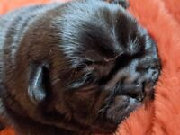 Puppie Pugs For Sale