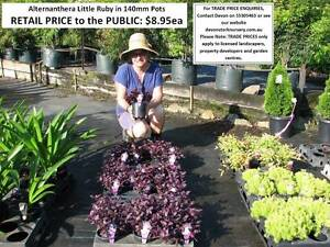 Need GROUND COVER, BORDERS, MASS PLANTING?  LOOK HERE! HS097 Tallai Gold Coast City Preview