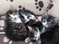Kittens for sale 150 each